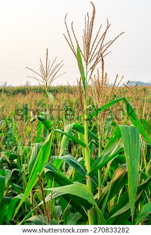 Close up corn field at the sunset in the farm - stock photo