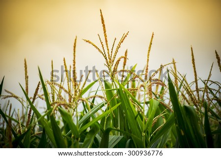Close up corn flower in sunset. - stock photo
