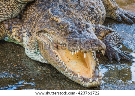 Close up Crocodile