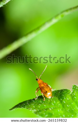 Close up Cucurbit Beetle or Aulacophora Indica on a green leaf is preparing to soar forward - stock photo