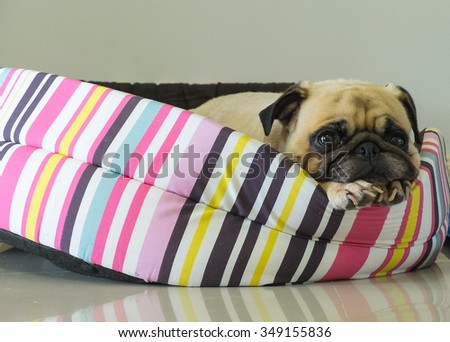 Close-up cute dog Pug puppy resting on her bed and watching to camera - stock photo