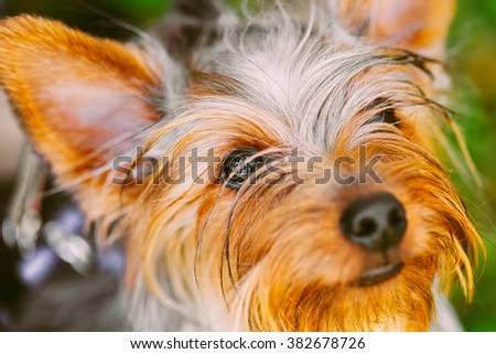 Close Up Cute Yorkshire Terrier Dog. - stock photo