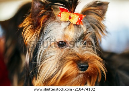 Close Up Cute Yorkshire Terrier Dog Playing In Show - stock photo