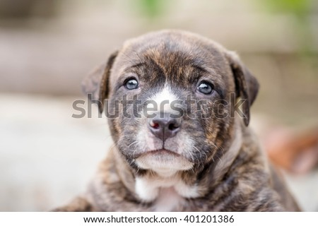 close up cutie pit bull puppy dog - stock photo