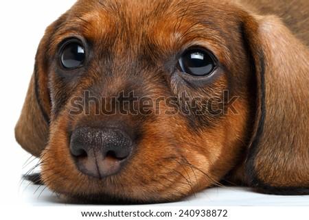 close up Dachshund puppy on white background - stock photo