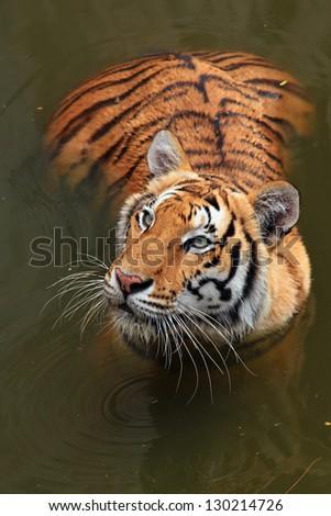Close up Dangerous Tiger - stock photo