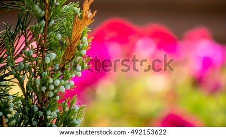 Close-up: delectable thuja on the blur-flowers backgrond