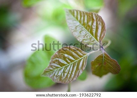 Close up detail of poison ivy in a natural setting - stock photo