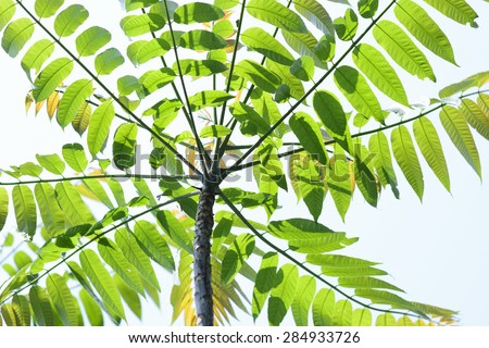 Close up detail of pretty and colourful ailanthus leaf - stock photo