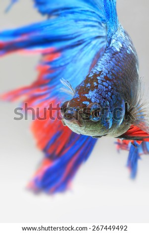 Close-up detail of Siamese fighting fish,colorful half moon type. Shallow depth of field composition. - stock photo