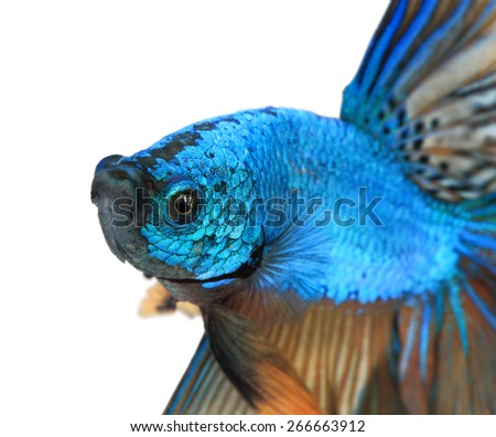 Close-up detail of Siamess fighting fish,colorful half moon  isolated on white background. - stock photo