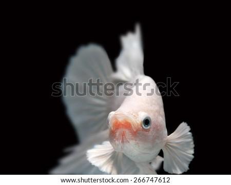 Close-up detail of Siamess fighting fish,white betta. - stock photo