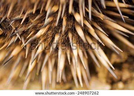 close up detail of the quils of the Echidna, sometimes known as spiny anteaters, belong to the family Tachyglossidae in the monotreme order of egg-laying mammals. - stock photo