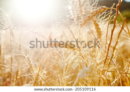 Close up detail view of a field of wheat crops growing in abundance and health in the sunshine of summer. Healthy farming crop fields bathed in golden sun light, outdoors nature.