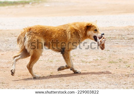 Close up dirty stray dog running with bone in the mouth - stock photo