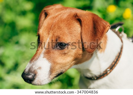 Close up Dog jack russel terrier on green grass background