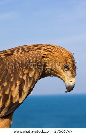 close up eagle portrait - stock photo