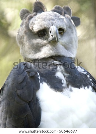 close up endangered rare male adult harpy eagle, panama, central america. exotic bird eagle parrot in lush tropical jungle country - stock photo