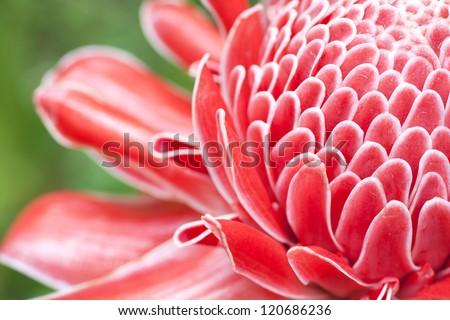 Close up etlingera elatior flower color red in nature - stock photo