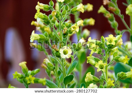 Close up eye level view of little yellow flowers on the nicotiana rustica tobacco plant also known as Sacred Hopi, Turkish or Aztec tobacco. Used in medicinal and spiritual ceremonies.