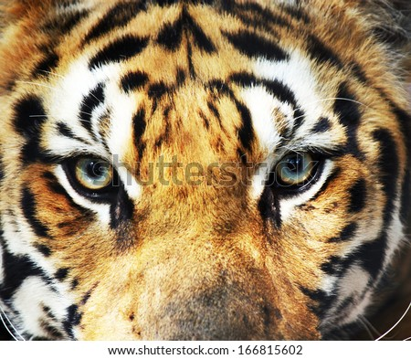 Close-up eye of tiger - stock photo