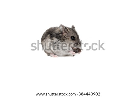 Close-up face Djungarian hamster on white background