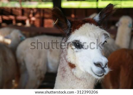 close up face of alpaca in farm - stock photo