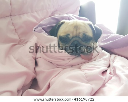Close up face of cute dog puppy pug sleep rest on sofa bed with tongue out and wrap blanket because of weather cold - stock photo