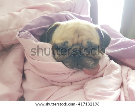 Close up face of cute dog puppy pug sleep rest on sofa bed with tongue out and wrapped blanket because of weather cold - stock photo