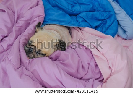 Close up face of cute funny puppy pug dog sleep rest on  bed with tongue out and wrap blanket because of weather cold. - stock photo