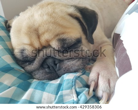 Close up face of cute funny puppy pug dog sleep rest on pillow bed with tongue out.  - stock photo