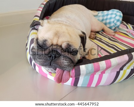 Close up face of cute funny puppy pug dog sleep rest on pillow bed with tongue sticking out in lazy time. - stock photo