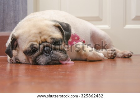 Close-up face of Cute pug puppy fat dog sleeping by chin and tongue lay down on laminate floor - stock photo