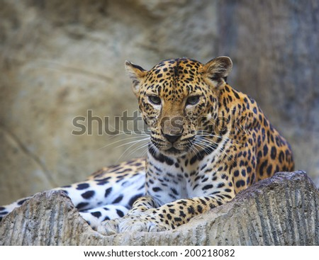close up face of dangerous  leopard lying on rock  - stock photo