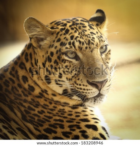 Close up face of Jaguar animal in nature wild
