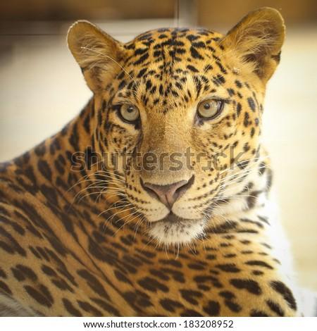 Close up face of Jaguar animal in nature wild - stock photo
