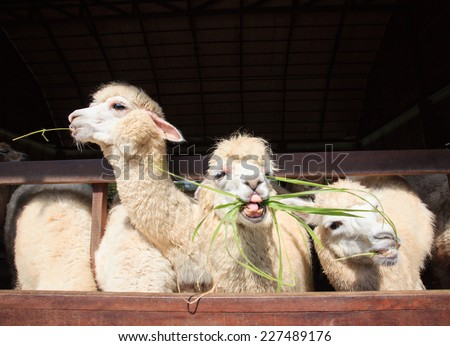 close up face of llama alpacas eating ruzi grass show lower tooth in mouth - stock photo