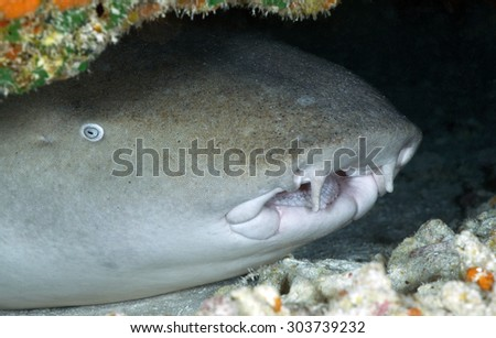 CLOSE-UP FACE OF NURSE SHARK IN AN UNDERWATER CAVE - stock photo