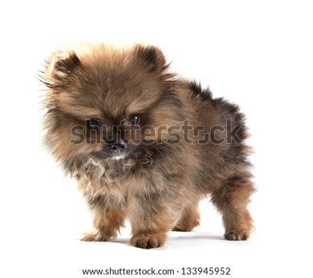 close up face of pomeranian puppy on white use for dog theme