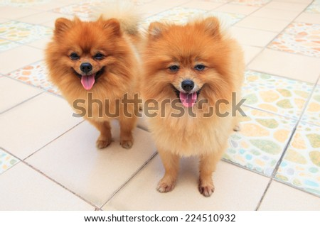 close up face of two male pomeranian dog standing and watching to camera - stock photo