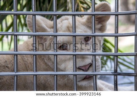 close-up, Face of white lion in cage  - stock photo