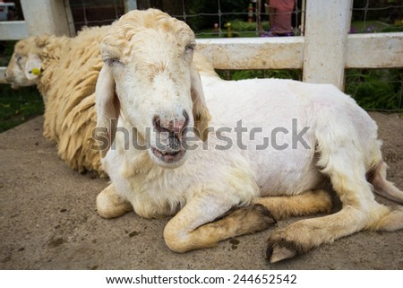close up face sheep in farm  - stock photo