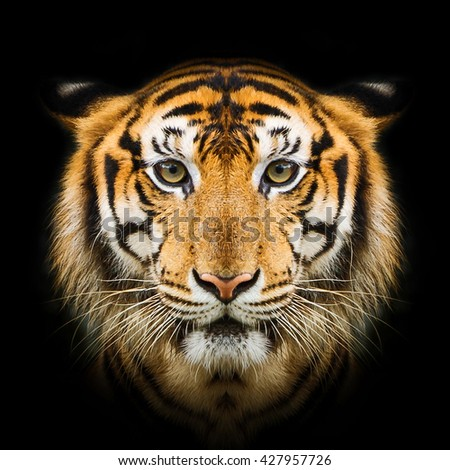 close-up face tiger isolated on black background - stock photo