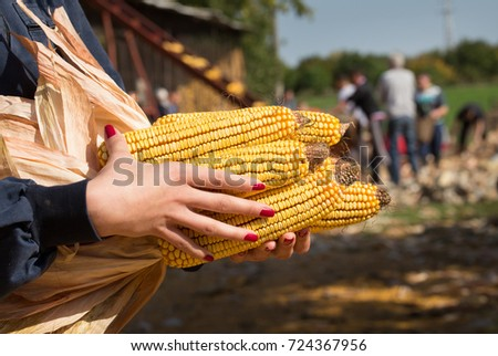 Close up farmer woman's hands carrying corn cobs with group of peasants working on stacking crop in storage place on farm