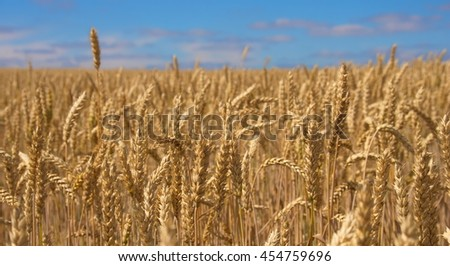 Close-up field of yellow wheat. Idea of a rich harvest. Golden wheat ears on field under blue sky and clouds. Backdrop of ripening ears of yellow wheat field. - stock photo
