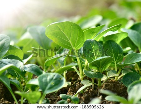 Close-up fields grow vegetables   - stock photo
