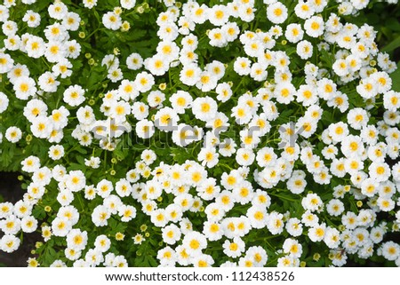 close-up flower bed with white flowers - stock photo