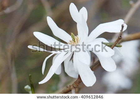close up flower of Magnolia Stellata