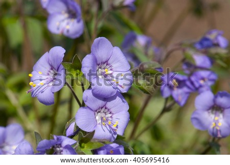 close up flowering of Polemonium caeruleum