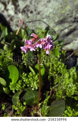 close-up flowers Badan in the mountains of the Western Sayan on a sunny summer day - stock photo